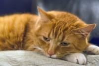 Foto Il Gatto ha mal di pancia? Ecco alcuni rimedi casalinghi
