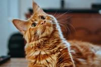 Foto I Gatti possono mangiare arance?