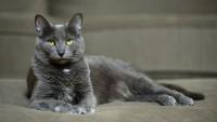 Foto 6 Razze di gatti grigi e loro caratteristiche