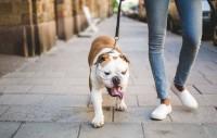 Foto Come insegnare a un cane a camminare?