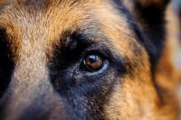 Foto Lesioni oculari nei Cani: cosa fare