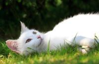 Foto Sintomi della Leucemia Felina (FeLV) nel Gatto
