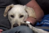 Foto Disturbi da stress post-traumatico nel cane