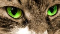 Foto Infiammazione dell'occhio (blefarite) del gatto