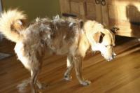 Foto Perchè il cane perde il pelo?