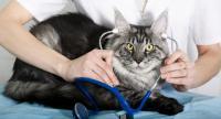 Foto La corretta alimentazione per un Gatto malato di Cancro