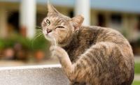 Foto Infezione batterica della pelle (Piodermite) nel Gatto