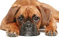 Foto Boxer: caratteristiche e carattere