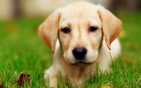 Foto Labrador: caratteristiche e carattere
