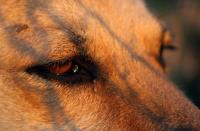 Foto Il Cane lacrima molto: cause e cure