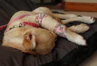 Foto Cani a rischio di Osteosarcoma