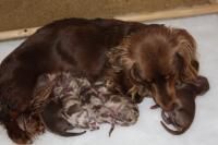 Foto Tutto sulla gravidanza del Cane