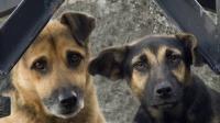 Foto Benefici della sterilizzazione nel Cane