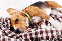 Foto Versamento pleurico nel Cane: cause e cure