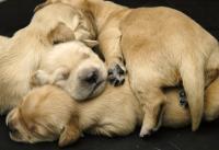 Foto Periodo di gravidanza nel cane: cosa fare?