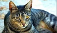 Foto Congiuntivite nel Gatto: cause e rimedi