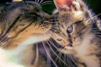 Foto Mastite nel Gatto: cause e trattamento
