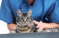 Foto Cosa fare se il Gatto vomita?