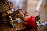 Perchè la Tartaruga non mangia?