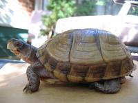 Foto Capire se la tartaruga è maschio o femmina