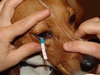 Foto Cosa fare se il Cane lacrima?