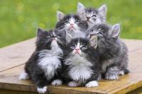 Foto Metodi contraccettivi per Gatti
