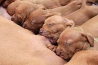 Foto Mastite nel Cane: sintomi e trattamento