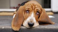 Foto Epatite nel Cane: sintomi e trattamento