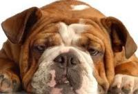 Foto La sindrome del cane Brachicefalo.