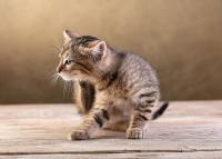 Foto Trattamento delle pulci nel Gatto