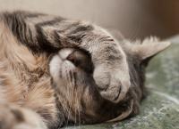 Foto Tracce di sangue nella pipì del Gatto: possibili cause