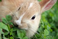 Foto Il blocco gastrointestinale (o stasi/costipazione gastrointestinale) nel Coniglio