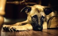 Foto Malattia vestibolare nel Cane: cause, sintomi e trattamento