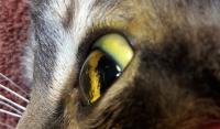 Foto Epatite (infiammazione del fegato) nel Gatto