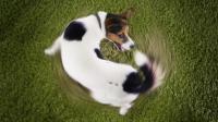 Foto Perche' il Cane gira in cerchio?