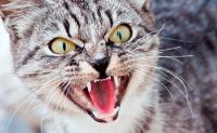 Foto Iperestesia nel gatto: cause e trattamento